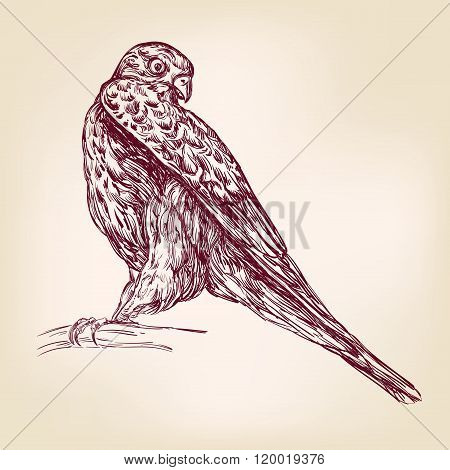 hawk bird of prey - hand drawn vector llustration realistic sket
