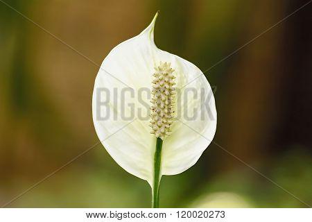 White Anthurium Andraeanum