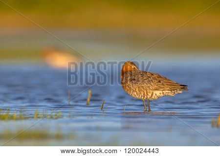 Black Tailed Godwit Sleeping