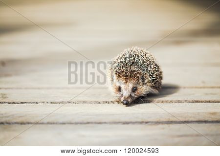 Small Funny Lovely Hedgehog Standing On Wooden Floor