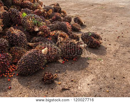 Palm Oil Fruits On The Floor At Thailand.