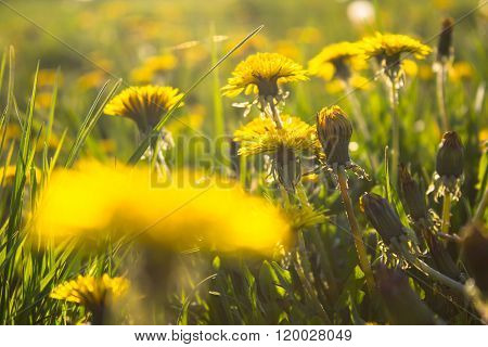 Green Meadow With Yellow Dandelion Flowers