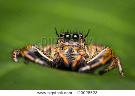 Macro Of Jumper Spider.