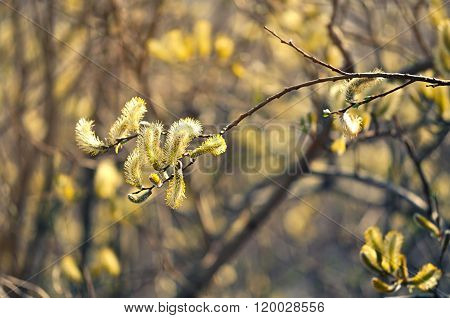 Spring Background -yellow Buds Of Goat Willow With Creative Filter Processing