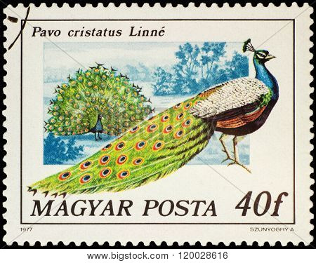 Indian Peafowl (pavo Cristatus) On Postage Stamp