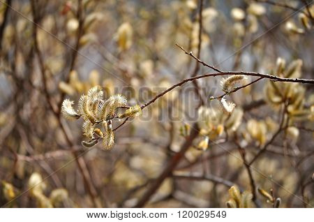 Yellow Buds Of Goat Willow - Spring Landscape