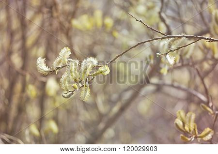 Springtime Natural Background -yellow Buds Of Goat Willow With Vintage Tones Processing
