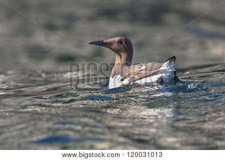 Common Murre  Swimming