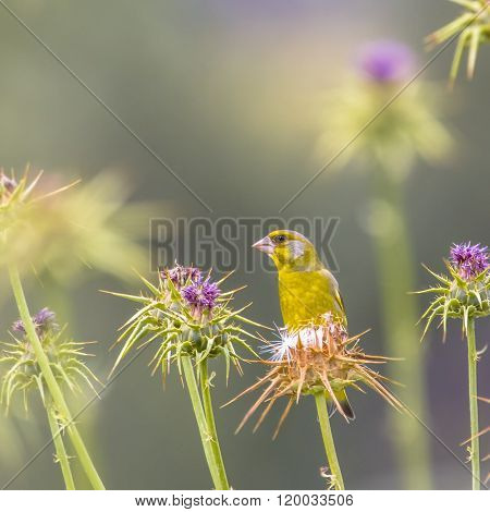 Greenfinch Foraging On The Seeds Of Thistle