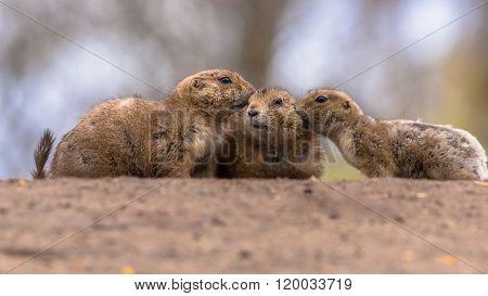 Three Black-tailed Prairie Dog