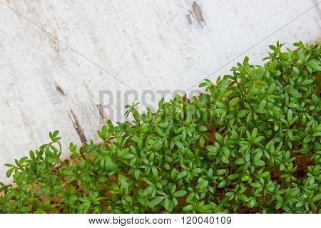 Fresh Cress On Old Rustic Wooden Background, Decoration For Easter, Healthy Nutrition, Copy Space