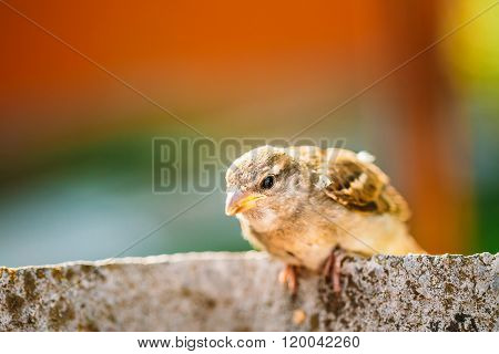 Small House Sparrow Passer Domesticus Bird On Fence