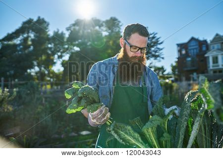 bearded man with bunch freshly picked kale in urban garden