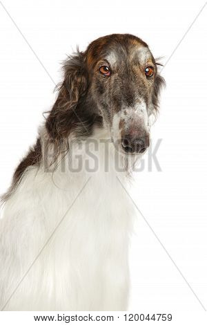 Close-up Of Russian Borzoi Dog