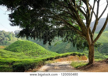 A Tree And Tea Plantation On The Mountain In The Background - Cameron Highlands, Malaysia..