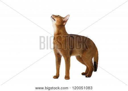 Funny Abyssinian Cat Standing And Looking Up Isolated On White