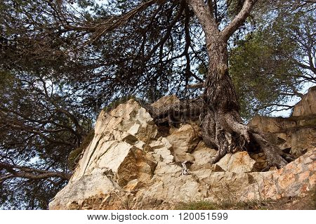 Tree Clings To Life On The Rock