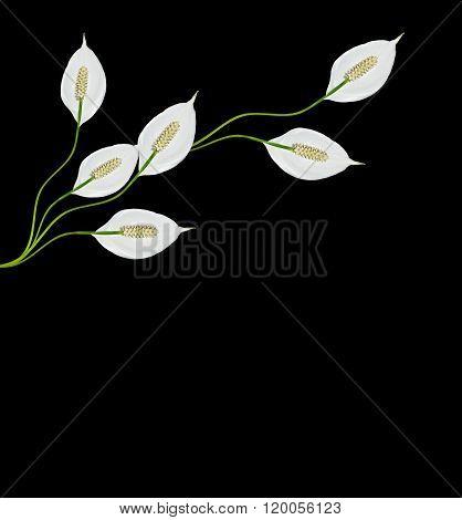 Flower Spathiphyllum Isolated On Black Background.