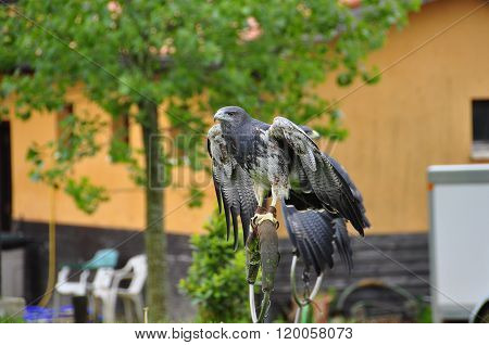 Grey Buzzard In Captivity