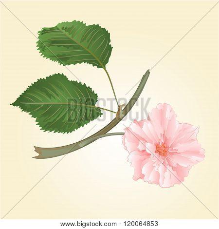 Sakura Flower With Leaves Vector