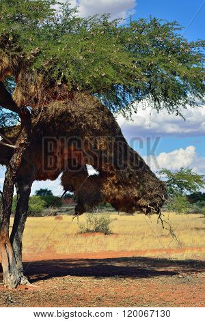 Tree With Big Nest. Namibia