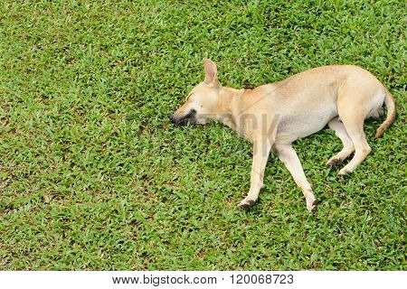 Happy Dog Is  Sleeping On The Lawn