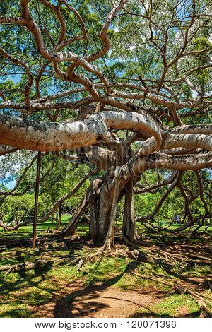 Ficus Benjamina tree in Peradeniya Botanical Gardens, Kandy, Sri Lanka,