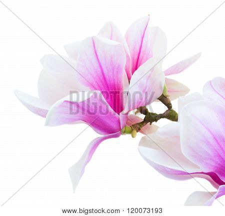Blossoming pink  magnolia Flowers