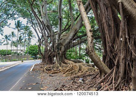Tree roots above the soil, Kauai, Hawaii