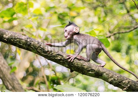 Longtailed macaque baby in movement