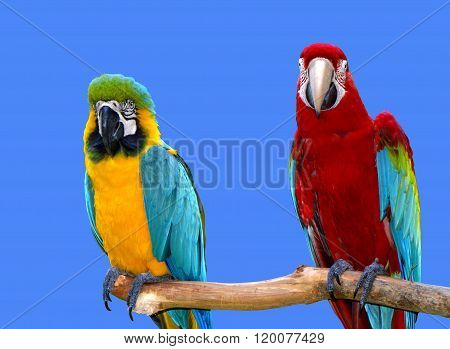 Blue and yellow macaw and a Scarlet macaw