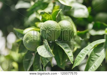 Green tangerines on the tree