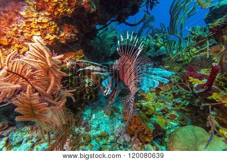 Lionfish (pterois) Near Coral, Cayo Largo