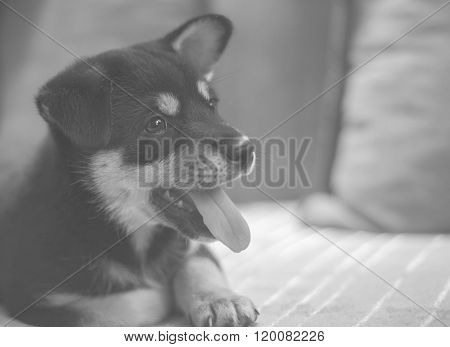 Black And White Shiba Inu, Happy On Bed