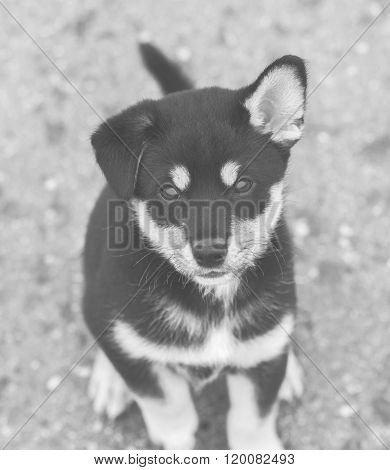 Shiba Inu Puppy, Black And White