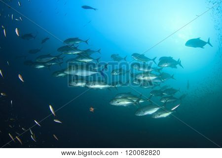 Fish school in ocean: Bigeye Trevallies or Jackfish