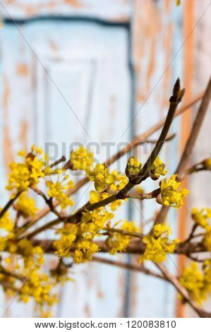 blooming yellow twig dogwood