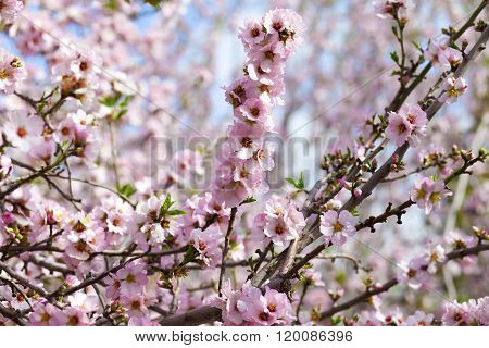 Blooming Mass Of Pink Almond Flowers