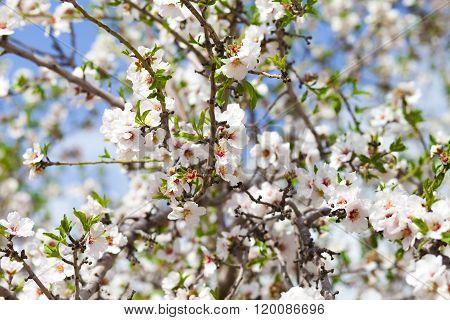 Massive Springtimr Blossom