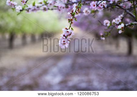 Almond Branch Blossoming