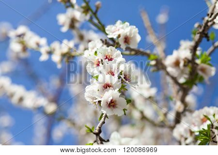 White Almond In Blossom