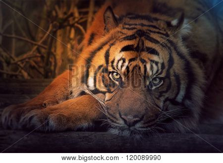 Resting Siberian tiger