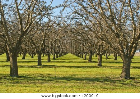 Orchards Central Valley Calif