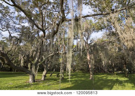 Spanish Moss Hanging From Trees In Park
