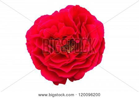 Red Rose On A White Background, Close-up