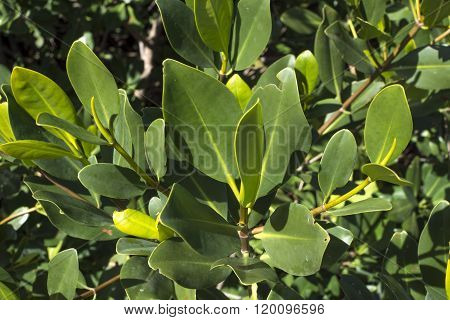 Green Branch Of Red Mangrove