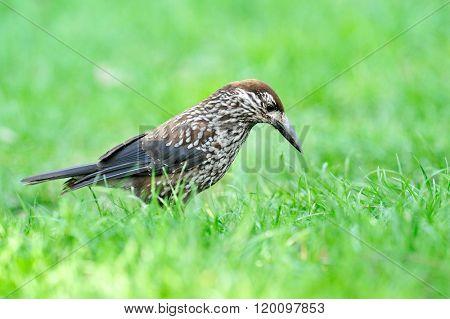 nutcracker (nucifraga caryocatactes) in the grass