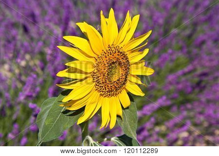 sunflower with lavender background