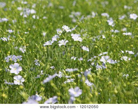 Flaxseed flowers (Linum usitatissimum).