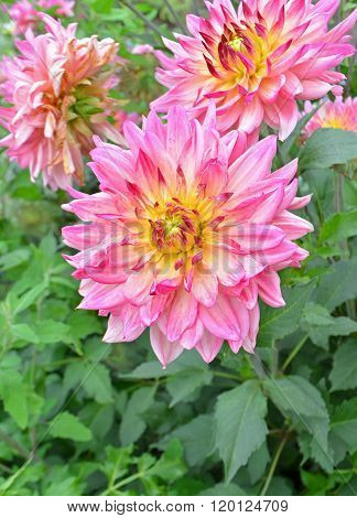 Yellow, pink Dahlia flower